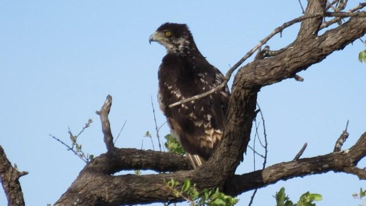 IMG_4549 African Hawk Eagle 2019-11-21 4-57-40 PM