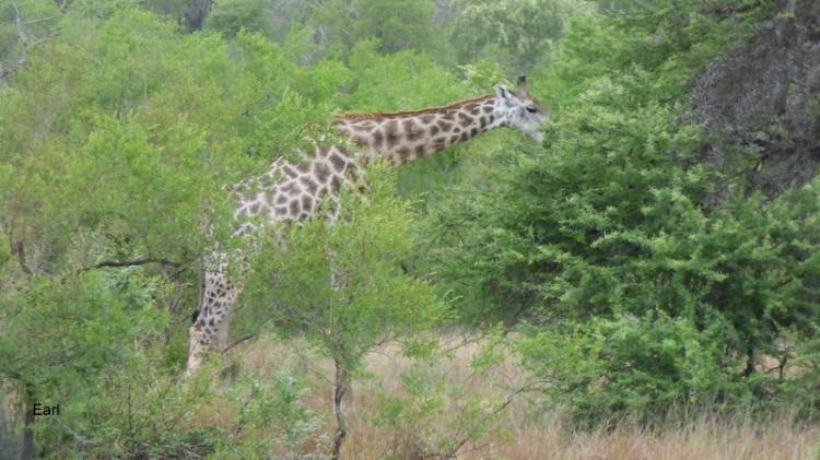 P1190077 Giraffe 2019-12-04 8-05-38 AM