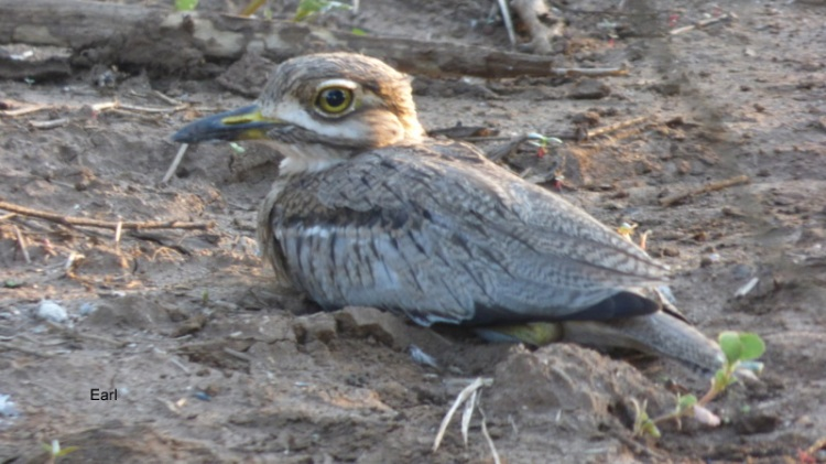 P1190611 Water Thick-knee 2020-02-17 6-24-14 PM